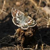 Fond d'écran avec photo de Papillon - la sylvaine