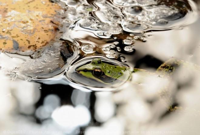 Photo de Grenouille verte commune