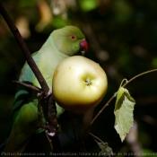 Photo de Perruche à collier