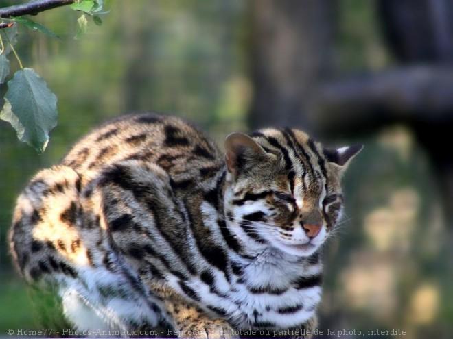 Photo de Chat léopard du bengale