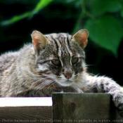 Fond d'écran avec photo de Chat léopard de sibérie