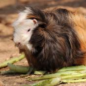 Fond d'écran avec photo de Cochon d'inde - poils lisses / ras