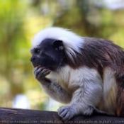 Photo de Singe - pinché à tête blanche