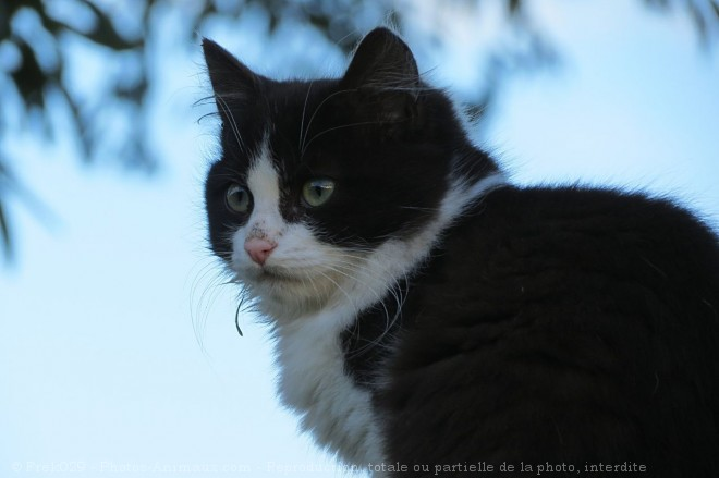 Photo de Chat domestique