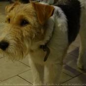 Photo de Fox terrier à poil dur
