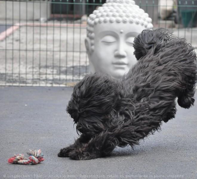 Photo de Terrier tibetain