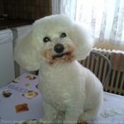 Photo de Bichon à poil frisé