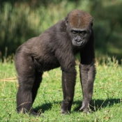 Photo de Gorille