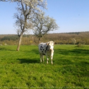 Photo de Vache - prim holstein
