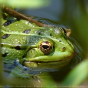 Photo de Grenouille verte commune
