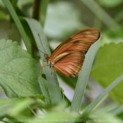Photo de Papillon - demi deuil