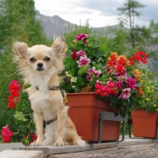 Photo de Chihuahua à poil court