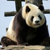Fond d'écran avec photo de Panda