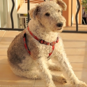 Photo de Fox terrier à poil dur
