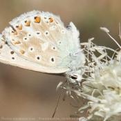 Photo de Papillon - cuivré commun