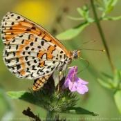 Fond d'écran avec photo de Papillon - damier noir