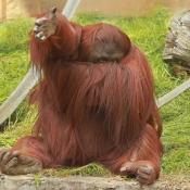 Photo d'Orang-outan