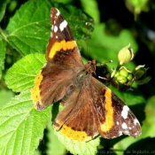 Photo de Papillon - vulcain