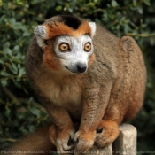 Photo de Lémurien - lémur couronné