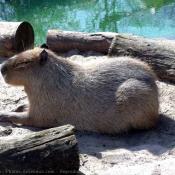 Photo de Cabiai ou capybara