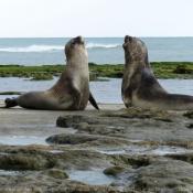 Photo d'Elephant de mer