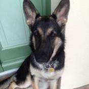 Photo de Bedlington terrier
