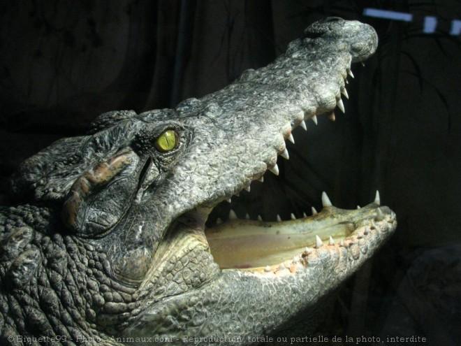 Photo d'Alligator