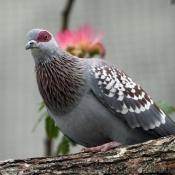 Fond d'écran avec photo de Pigeon - nouvelle-guinée