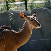 Photo de Grand koudou