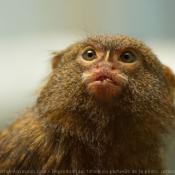 Fond d'écran avec photo de Singe - ouistiti pygmée