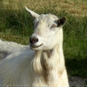 Fond d'écran avec photo de Chèvre