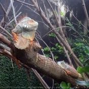 Photo d'Iguane