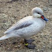 Photo de Canard des bahamas