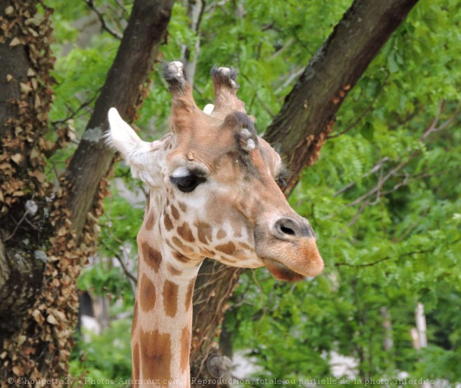 Photo de Girafe