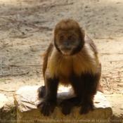 Fond d'écran avec photo de Singe - capucin