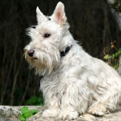 Fond d'écran avec photo de Scottish terrier