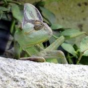 Les fonds d'écran Reptiles de choupette27