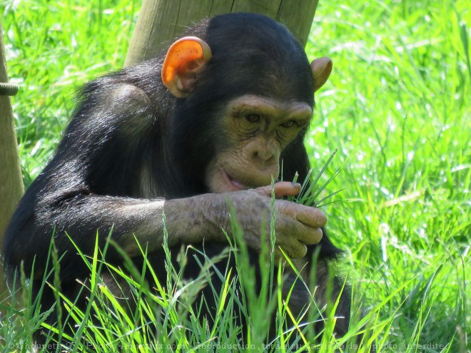 Photo de Singe - chimpanzé