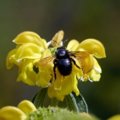 Photo d'Abeille charpentière - xylocope
