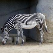 Photo de Zebre