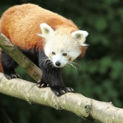 Fond d'écran avec photo de Panda roux