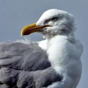 Les fonds d'écran Oiseaux de tribord