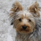 Fond d'écran avec photo de Yorkshire terrier