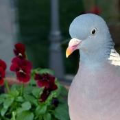 Photo de Pigeon - ramier