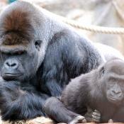 Fond d'écran avec photo de Gorille