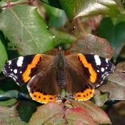 Photo de Papillon - vulcain