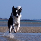 Fond d'écran avec photo de Border collie