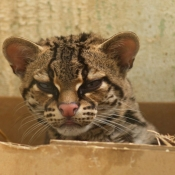 Photo de Chat margay