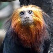 Photo de Singe - tamarin lion à tête dorée