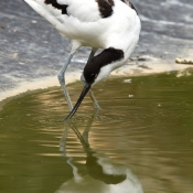 Photo d'Avocette